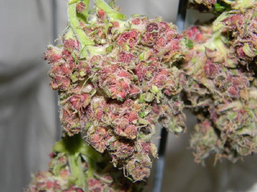 Plushberry weed